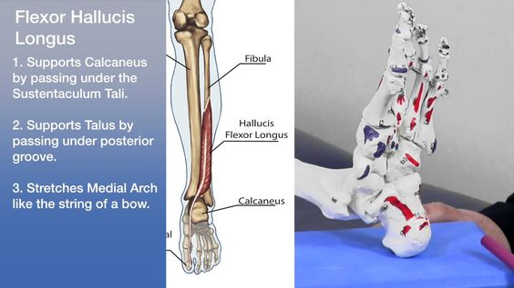 Anatomy - Arches of the foot
