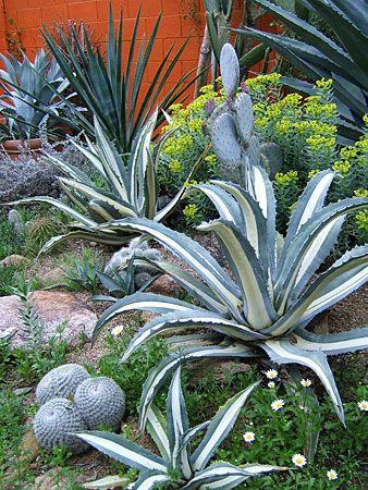 Desert landscaping tips cactus succulent garden for Best plants for desert landscape
