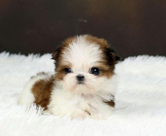 Shih Tzu Welpen Susse Bilder Und Fakten In 2020 Babyhunde