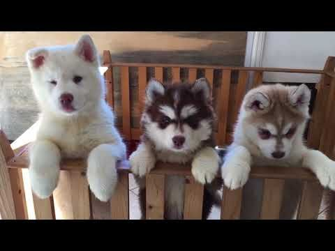 Do You Love Siberian Husky Puppies Well Now You Will If You Didn