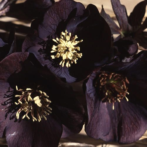black hellebore aka helleborus niger  poisonous evergreen perennial flower  in the middle ages