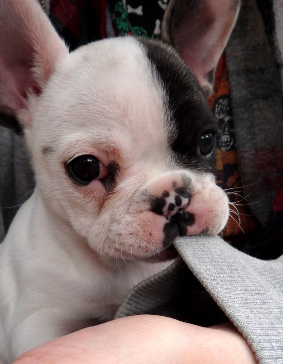 French bulldog. Basically I am obsessed with dogs. I go over to my friends houses for their dogs and not them.