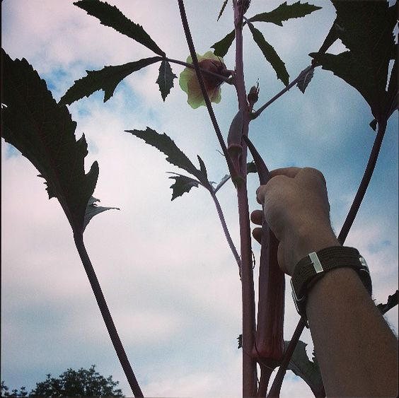 Okra Growing 9 feet high!? We can't even reach it! #UMass #Permaculture