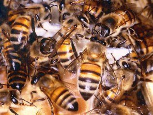 Why Chinese folk are stealing all our bees