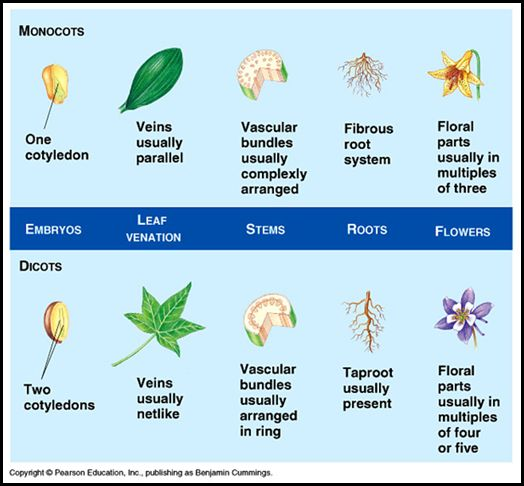 monocot and dicot stem pdf free