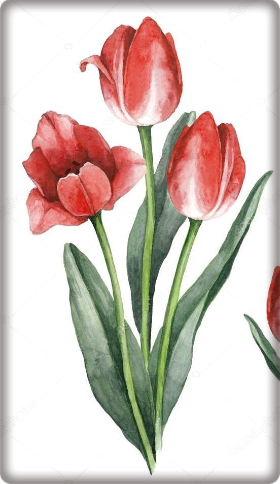 Tulip Watercolor Tulip Watercolor Tulpe Aquarell Aquarelle