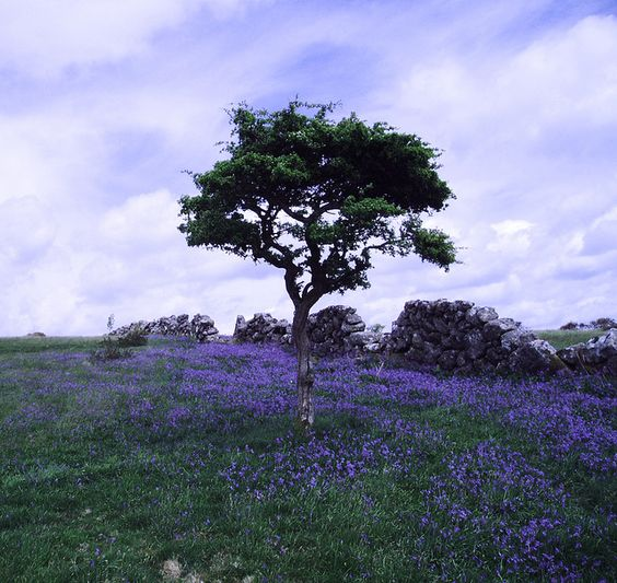 Hound Tor Bluebells, by Earthmeridian