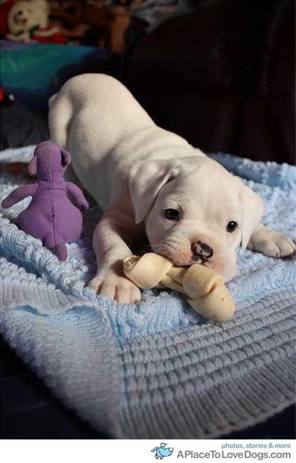 a white boxer puppy
