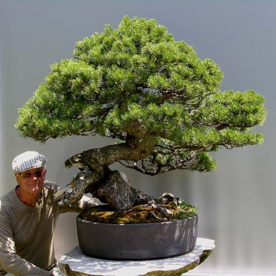 the king pinus mugo bonsai pinterest king and the. Black Bedroom Furniture Sets. Home Design Ideas
