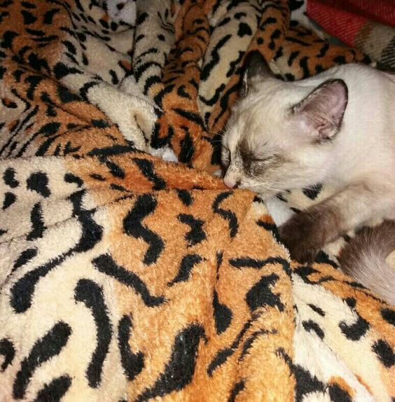 Esse é meu cobertor preferido🐈😻❤