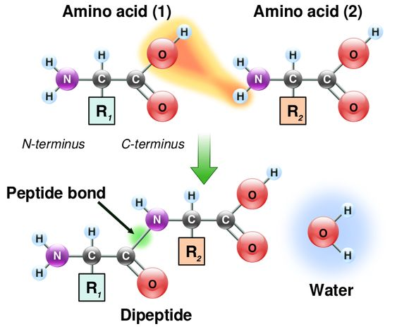 Peptide bond - Condensation reaction
