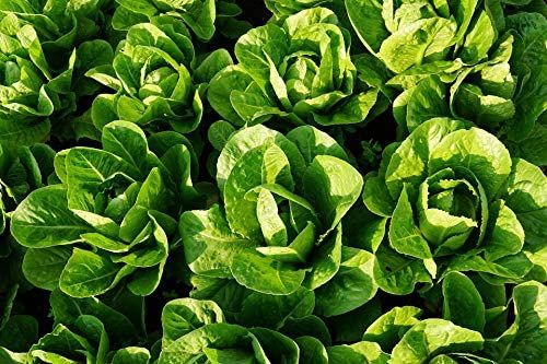 How Many Lettuce Seeds Per Hole