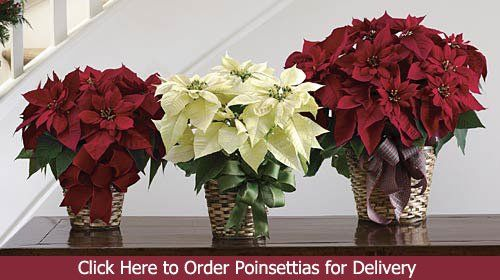 Poinsettia Plant 1st In Flowers Christmas Flower Arrangements Poinsettia Plant Same Day Flower Delivery