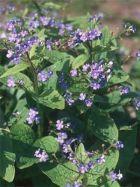 Brunnera macrophylla (A) ab  2,85 EUR