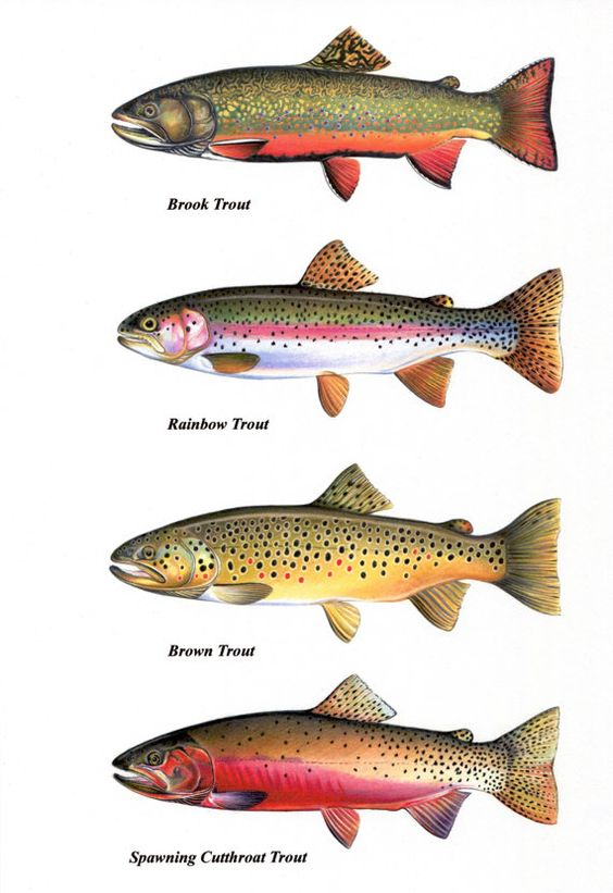 Trout Chart Prints Brook Trout Cutthroat Trout by FishArtCreations