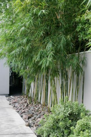 Privacy screen plants bamboo garden garden ideas and for Tall planters for privacy