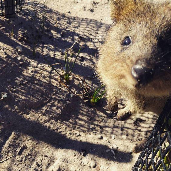 Found this little cutie the other day  #quokka #rottnestisland #cutestanimals by sean_suckling http://ift.tt/1L5GqLp
