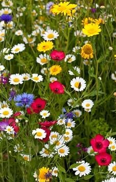 Annual meadow flowers in Summer.  I'd LOVE to have this in my front yard, instead of a big area of grass that has to be cut.
