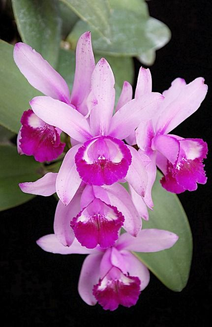 Orchid Cattleya intermedia orlata 'Crownfox'. photo: salabat.: