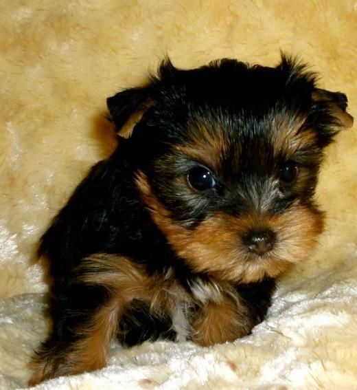 toy yorkies, they are 5 pounds fully grown