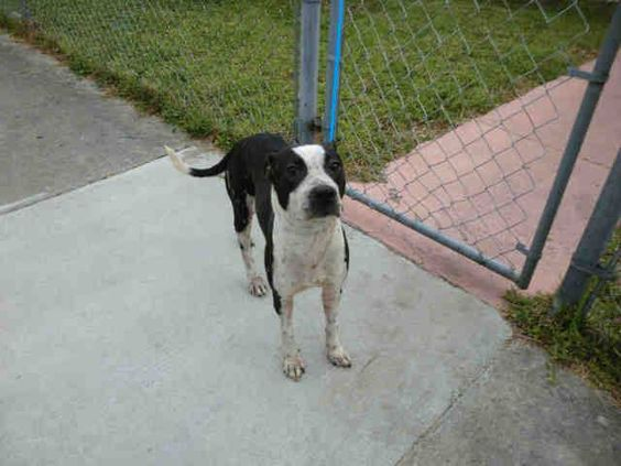 KIM (A1639641) I am a female black and white Terrier mix.  The shelter staff think I am about 2 years old.  I was found as a stray and I may be available for adoption on 09/03/2014. — hier: Miami Dade County Animal Services. https://www.facebook.com/urgentdogsofmiami/photos/pb.191859757515102.-2207520000.1409262729./831117406922664/?type=3&theater