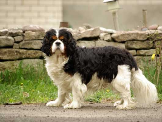 Kc Register Ready Now Health Tested King Charles Spaniel