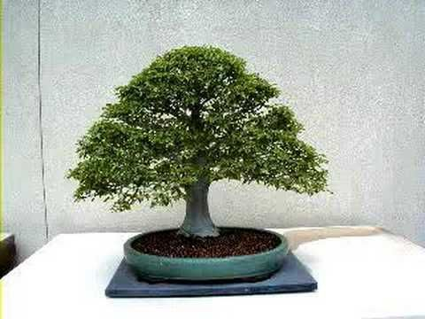 Como Cuidar Un Bonsai Cuidados Basicos De Un Bonsai Riego Como Podar Abono Y Como Transplantar Bonsai Tree Bonsai Growing Tree