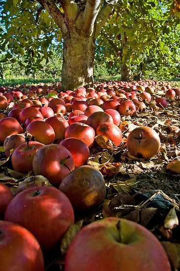 *Apple Harvest - Who shook the trees?