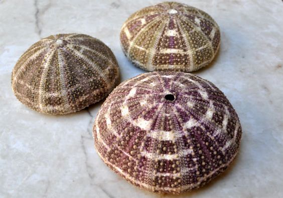 Alfonso Gator Sea Urchins 3 pcs.  34 by seashellmart on Etsy, $3.75