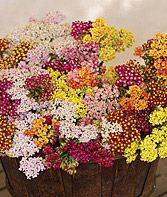 Achillea - beautiful, aren't they? They're butterfly friendly, too.