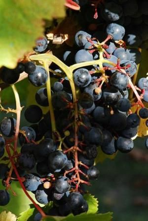 Scientists sequence genome of high-value grape, seek secrets of wine's aroma