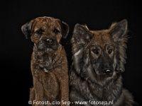 Border Terrier, Kruising Herder  Bewerkt : fotografie, honden, studio