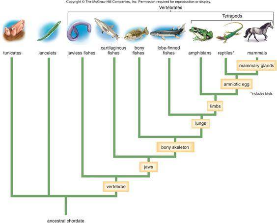 animal phylogenetic tree - photo #4