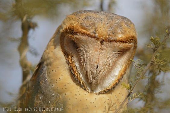 mis fotos de aves: Tyto alba Lechuza de campanario Barn owl