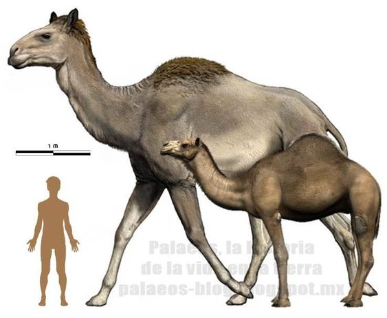 Titanotylopus (in the background) and Camelus (in front) to scale.The largest known camels inhabited North America below 45 ° north latitude. The largest known is Titanotylopus with 3.5 m height at the withers, it was almost the same size as a giraffe! Currently, the largest is the dromedary, Camelus dromedarius with 2 m height at the withers.