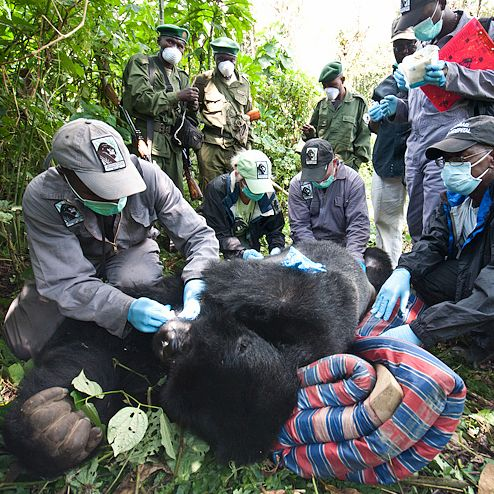 The Gorilla Doctors are dedicated to conserving wild mountain and eastern lowland (or Grauer's) gorillas through life-saving veterinary medicine and a One Health approach