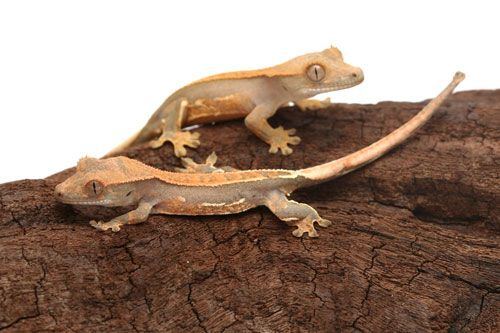 Crested Gecko Care Sheet- it's very detailed! Can't wait to get mine!