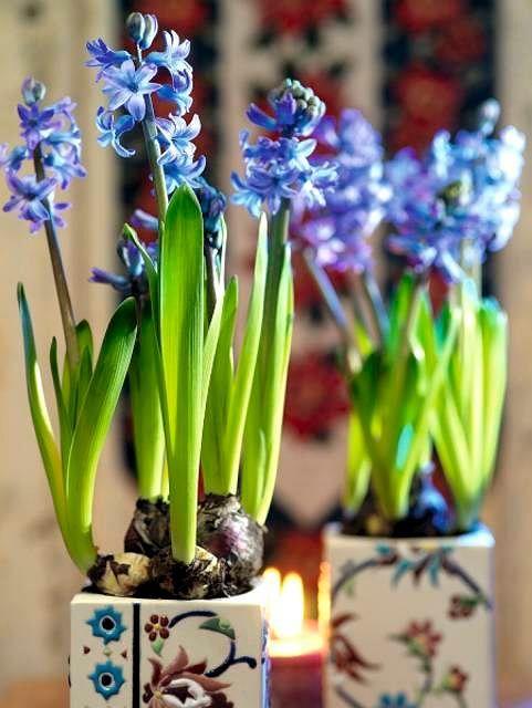 Hiacynty W Kolorze Ultramaryny Doskonale Prezentuja Sie W Prostych Bialych Doniczkach Ozdobionych Dyskretnym Wzorem Growing Bulbs Garden Bulbs Spring Bulbs