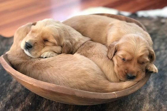Central Valley Goldens Has Golden Retriever Puppies For Sale In