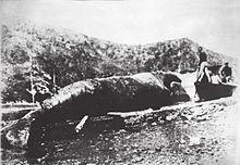 Bizkaiko golkoan harrapatutako azken sardako balea (Orio, 1901)