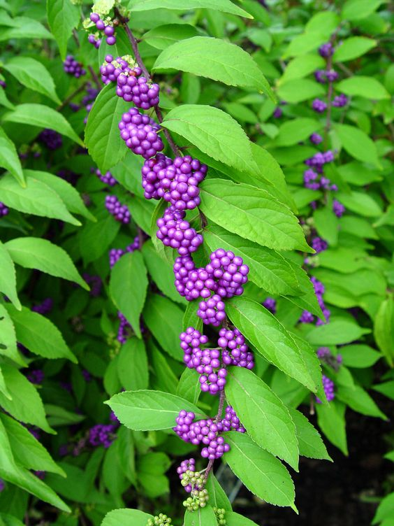 Beautyberries. Used for wine and jelly, but the most interesting, for insect repellent, particularly mosquitoes.