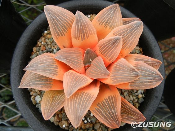 Haworthia 'Night Forest':