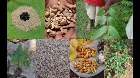 Tribal Medicines of Gandhamardan Hills for Cissus- Astragalus Toxicity: ...