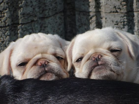 Noch ganz verschlafen - Wunderschöne weiße Mopswelpen - Deine-Tierwelt.de