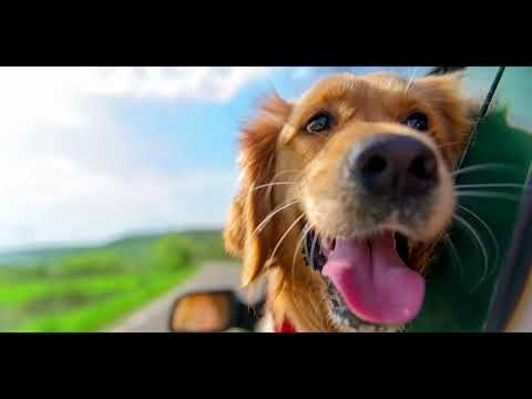 Vacation Clean Youtube Golden Retriever Dog Boarding Near Me Dogs