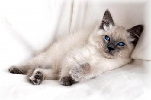 Cat Breeds The Balinese Cat Characteristics And Personality
