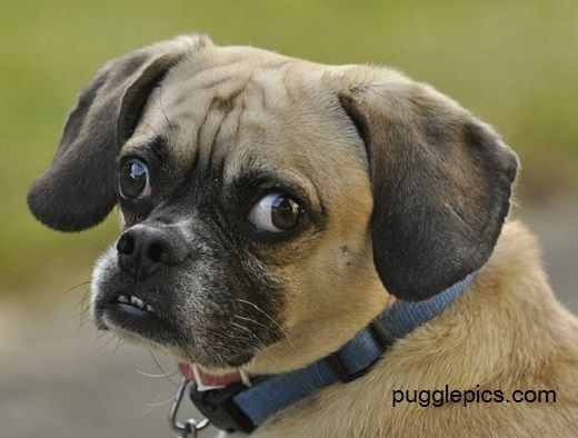 Image Result For Puggle Puggle Dogs