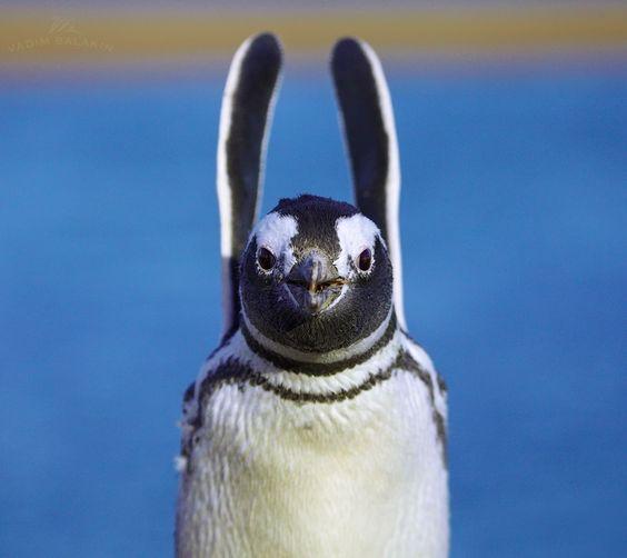 Magellanic penguin (Spheniscus magellanicus), Valdez Peninsula, Argentina,