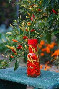 hot-tabasco-pepper-vinegar http://bonnieplants.com/cooking/hot-tabasco-pepper-vinegar/