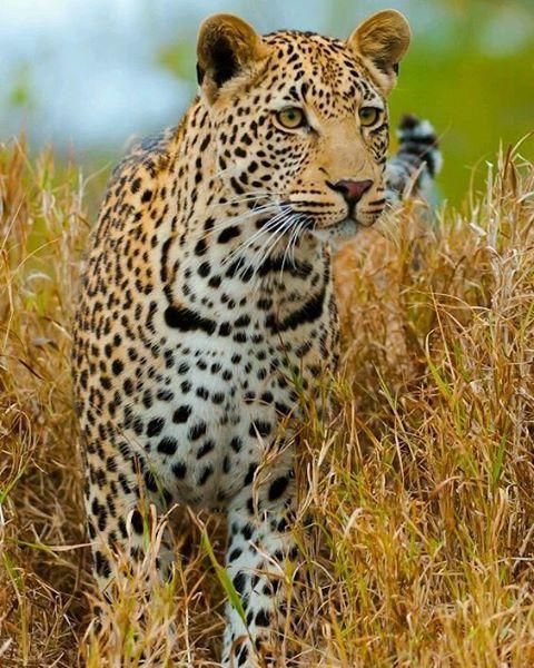 Powerful cat Photo by ©Mohammed Alnaser #WildlifeFriend